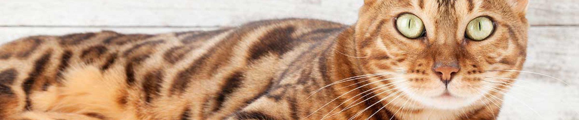 Cat-Header